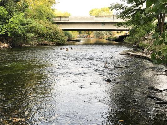 Provo-River-ducks
